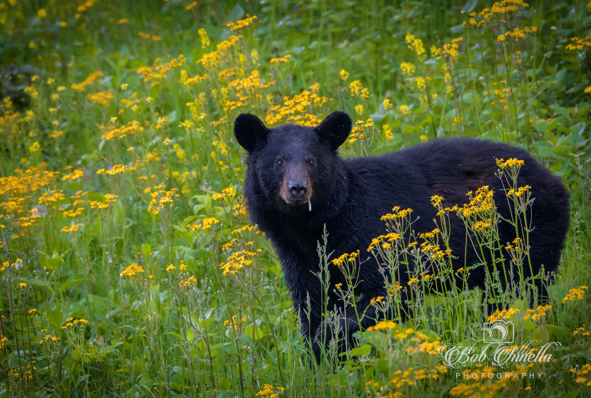 Black Bear Smoking In Yellow Flowers -  by Buckmaster