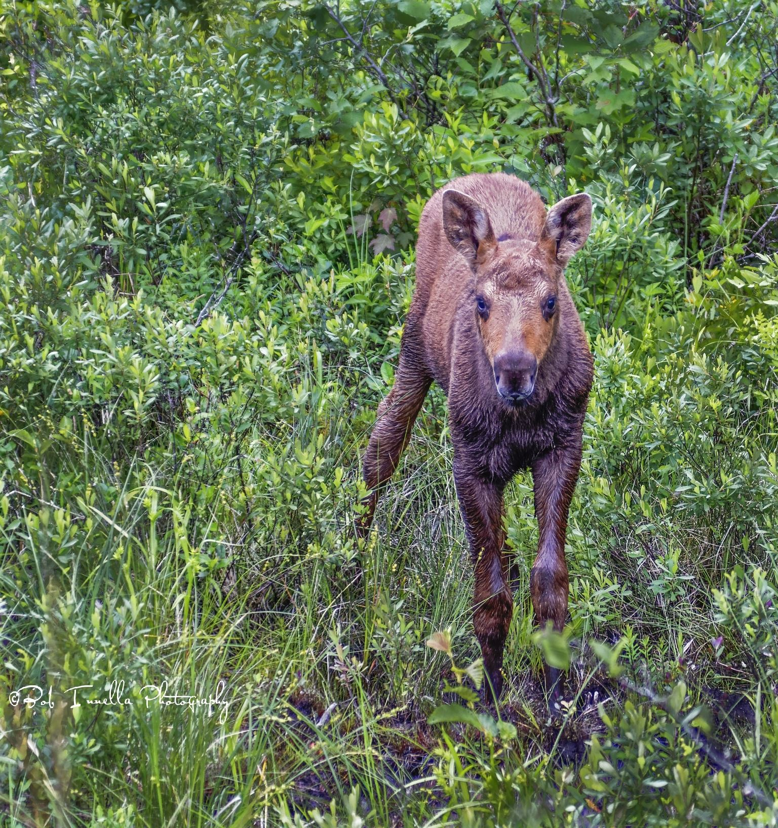 Baby Moosefb-_wm.jpg -  by Buckmaster