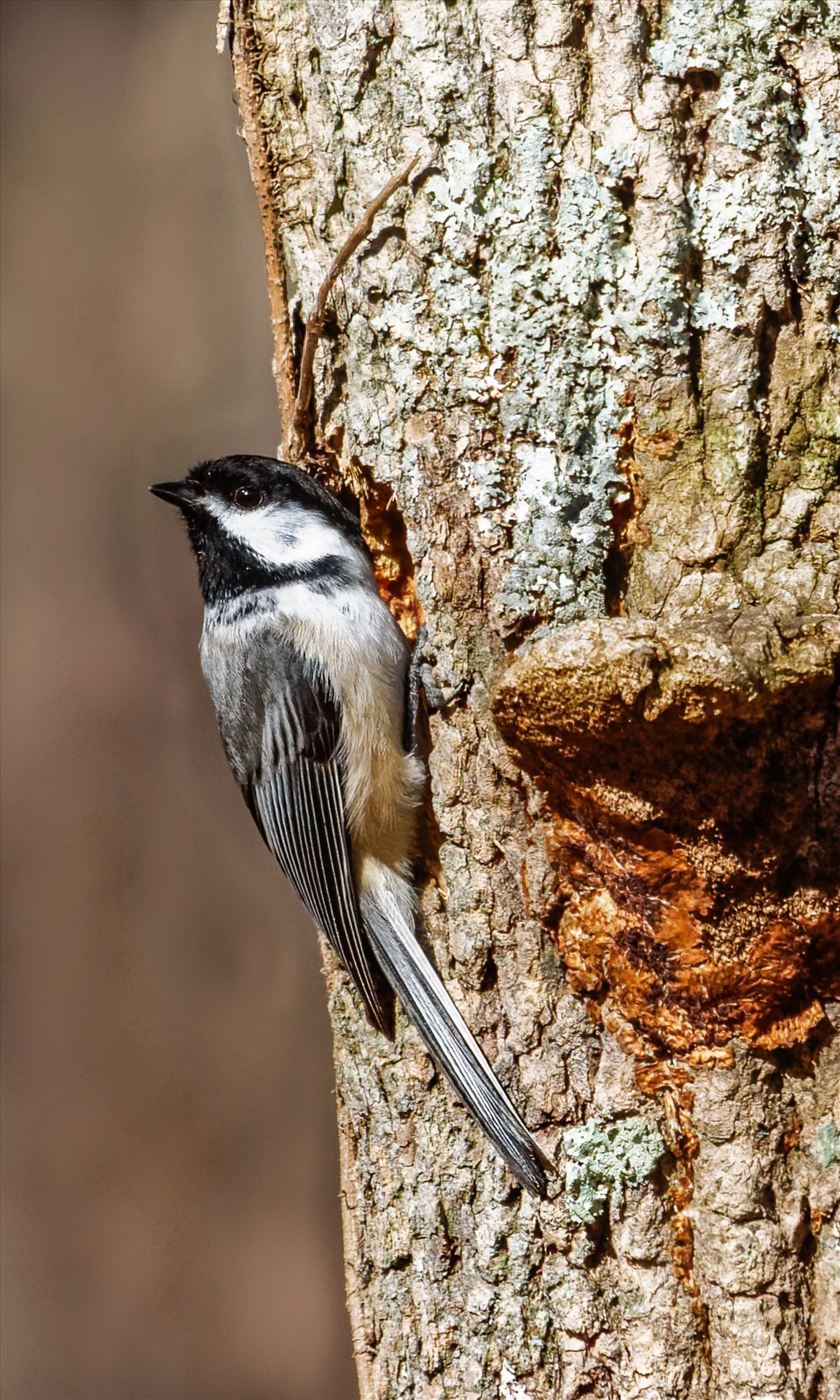 Chickadee - Black-Capped Chickadee checking out a Woodpecker Hole by Buckmaster