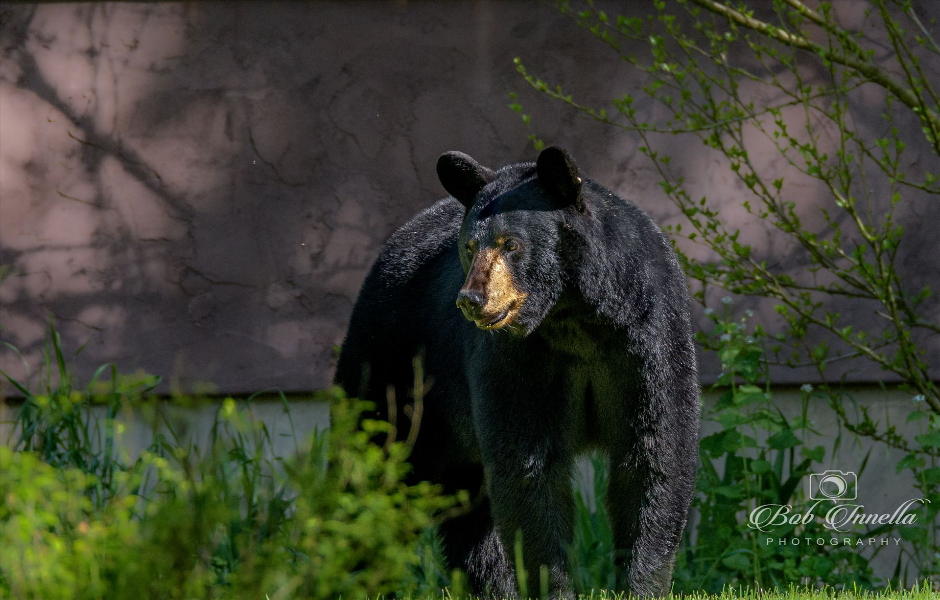 Black Bear Sow, Mongaup River, NY -  by Buckmaster