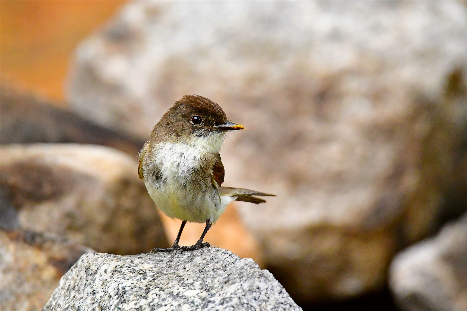 Eastern Phoebe - Northern Maine 2016 by Buckmaster