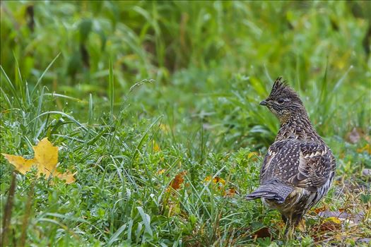 October Grouse in Matagamon, Maine