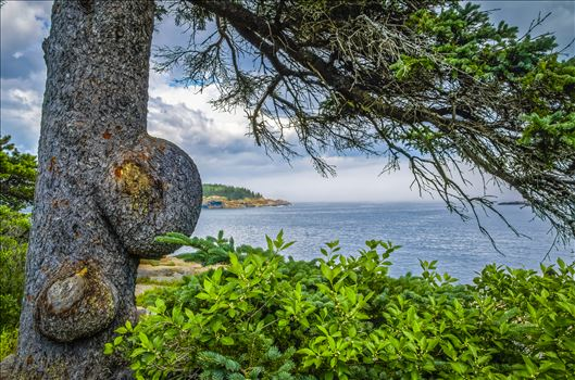 Preview of Knobby Tree at Acadia