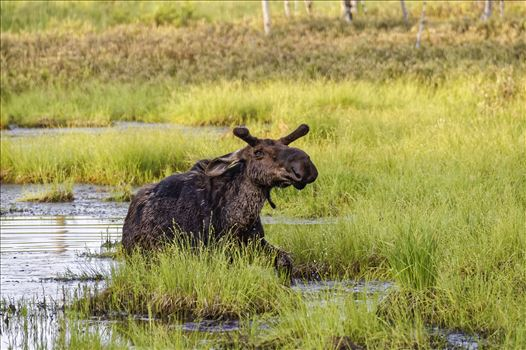 Moose in the Bog - Small Bull Moose coming out of a bog after getting tired of me photographing him