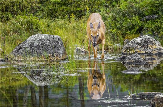 Button Buck whitetail with nice reflection