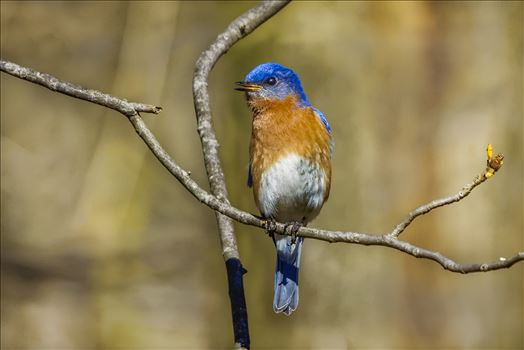 Eastern Bluebird - Male Eastern Bluebird
