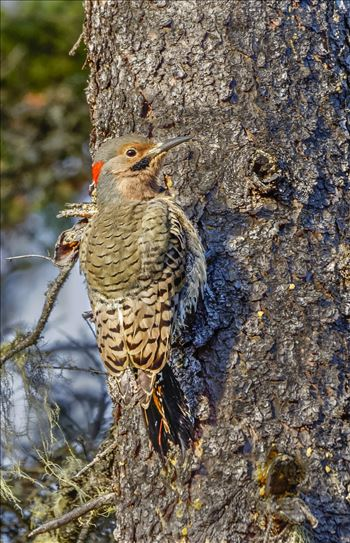 Preview of Northern Flicker