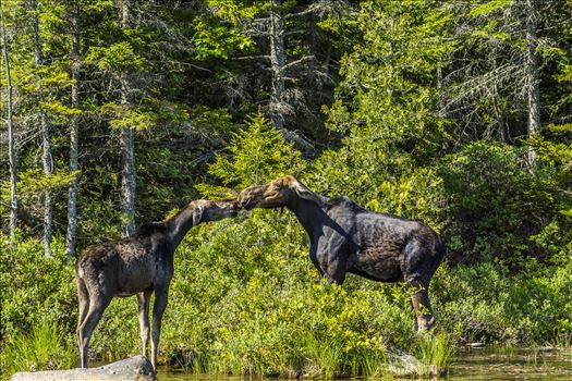 The Moose Kiss - By the looks of their ears I don't think this is a memorable kiss