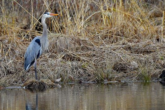 Great Blue Heron in High Point State Park, NJ