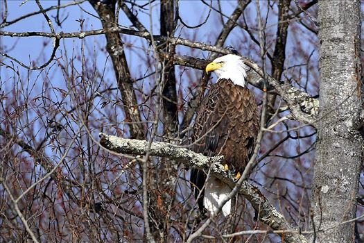 Bald Eagle, Barryville, Ny