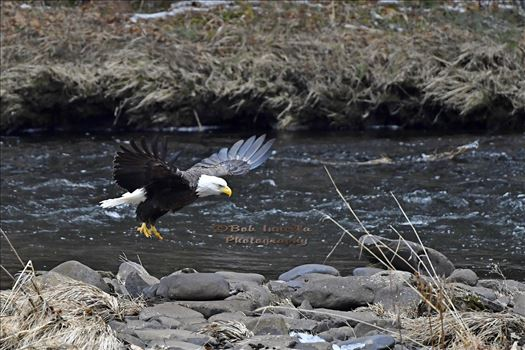 Bald Eagle Along The Mongaup River, NY