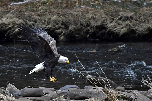Bald Eagle, Mongaup River, Rio,NY