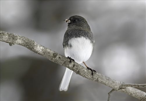 Pennsylvanian Dark Eyed Junco - Pennsylvanian Dark Eyed Junco