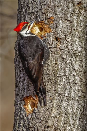 Pileated Woodpecker - 5 Minute Holes, What Power!