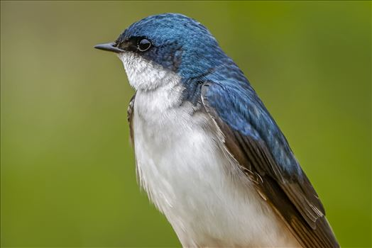 Tree Swallow Portrait - Close up Of a Tree Swallow..So Beautiful.