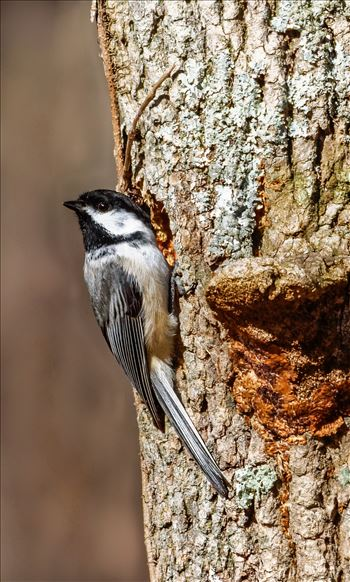 Chickadee - Black-Capped Chickadee checking out a Woodpecker Hole